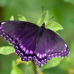 Purple Butterfly Meaning and Symbolism