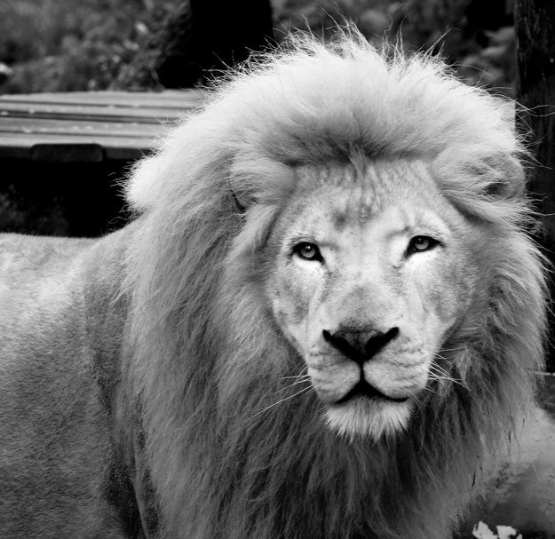 black and white photo of lion