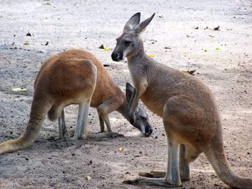 Photos of Kangaroos at the Zoo