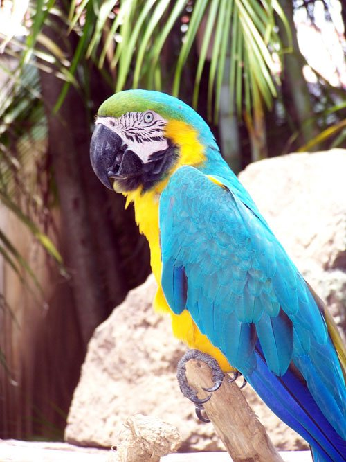 Beautiful blue and yellow macaw photo