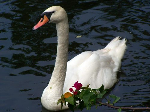 Beautiful Photo of a Swan at the Zoo