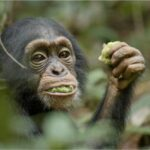 Disneynature Chimpanzee Videos