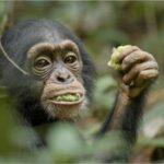 Disneynature Chimpanzee Videos
