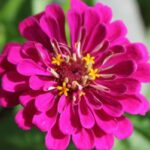 Honey's Bloomin' Zinnia's