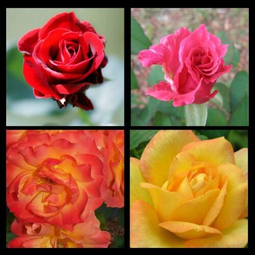 rose colors meaning