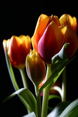 Tulips in studio