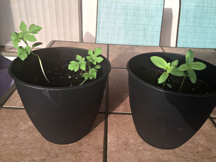 Growing Watermelon in Containers