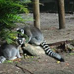 Leaping Lemurs : Palm Beach Zoo Series