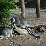 Leaping Lemurs : Palm Beach Zoo Series