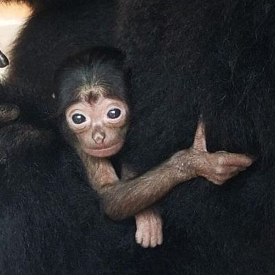 Palm Beach Zoo Announces Birth of Baby Siamang